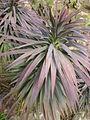 Yucca desmetiana 2c.JPG