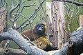 ZSL London - Red Ruffed Lemur 01.jpg