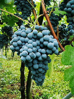English: Graps of Slovenian Red Wine Variety Z...