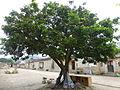 Zhaojiabao - longyan tree - P1260206.JPG