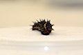 ZooAmerica, Fort Indiantown Gap Partner to Save Regal Fritillary Butterfly 160511-A-TN694-766.jpg