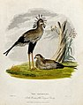 Zoological Society of London; two secretary birds. Coloured Wellcome V0023145.jpg