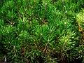 "Zwergkiefer, lat- Pinus mugo ""Mops"" (03).jpg"