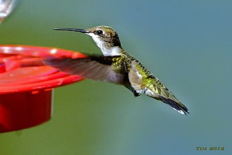 """Humming-Bird"" shot in overland park kansas on 2012.jpg"
