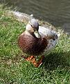 'Anas hybrid' Mallard at Henham Essex England 04.jpg