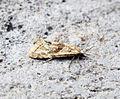 (0936) Cochylimorpha straminea (17649968376).jpg