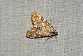 (1345) Brown China-mark (Elophila nymphaeata) (3670194536).jpg