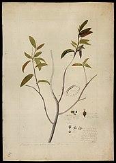 (Croton)