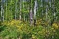 Березово-дубовий ліс із рододендроновим угрупуванням.jpg