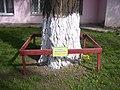 Група екзотичних дерев, м. Суми, вул. Якіра, 17.JPG