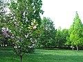 Деревце сакури у Ботанічному саду при ТНУ.JPG