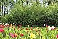 Елагин парк, фестиваль тюльпанов667.jpg