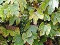 Крупный зеленый дальневосточный виноград ф4.JPG