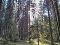 """Лесной массив """"Старая граница"""" 03.jpg"""