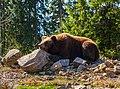 НПП «Синевир» - 02 - Ведмідь бурий в центрі реабілітації.jpg