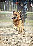 Собаки НГУ 5012-2 (18734067343).jpg