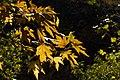 برگ زرد-پاییز-yellow leaves-falling leaves 12.jpg