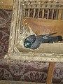 حمامه في عشها.jpg