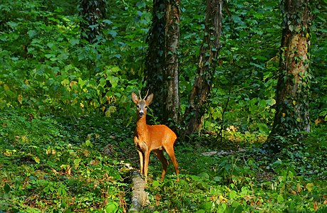 Male fawn at the Lagodekhi Protected Areas.