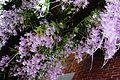 兜唇石斛蘭 Dendrobium aphyllum - panoramio.jpg