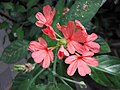 十字爵床屬 Crossandra nilotica -波蘭 Krakow Jagiellonian University Botanic Garden, Poland- (35924539093).jpg