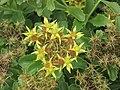 堪察加景天 Sedum kamtschaticum -倫敦植物園 Kew Gardens, London- (9213308673).jpg