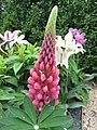 多葉羽扇豆 Lupinus Inverewe Red -荷蘭園藝展 Venlo Floriade, Holland- (9204848125).jpg