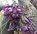常春油麻藤 Mucuna sempervirens -武漢植物園 Wuhan Botanical Garden- (9200911166).jpg