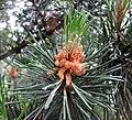 歐洲山松 Pinus mugo -維也納大學植物園 Vienna University Botanical Garden- (29012873276).jpg