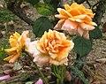 玫瑰 Rosa Copper Pot -日本廣島和平紀念公園 Hiroshima Peace Memorial Park, Japan- (35584595782).jpg