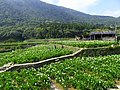 竹子湖海芋田 Zhzihu calla fields - panoramio.jpg