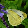 粉蝶 Pieris sp. - panoramio.jpg