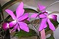 紫花卡特蘭 Cattleya violacea -香港沙田洋蘭展 Shatin Orchid Show, Hong Kong- (9200928008).jpg
