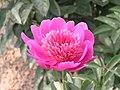 芍藥-生機無限 Paeonia lactiflora 'Vitality Unlimited' -瀋陽植物園 Shenyang Botanical Garden, China- (12380138435).jpg