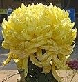 菊花-粉桂 Chrysanthemum morifolium -中山小欖菊花會 Xiaolan Chrysanthemum Show, China- (12026334255).jpg