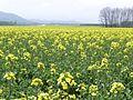 菜の花畑 - panoramio (1).jpg