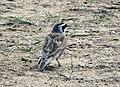 角百靈 Eremophila alpestris, Qinghai 3.jpg