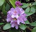 酒紅杜鵑 Rhododendron catawbiense Grandiflora -比利時 Leuven Botanical Garden, Belgium- (9200946844).jpg
