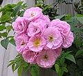 野薔薇 Rosa multiflora (Rosa polyantha) -香港梅樹坑公園 Mui Shue Hang Park, Hong Kong- (9190646529).jpg