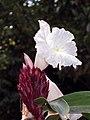 閉鞘薑 Costus speciosus -新加坡植物園 Singapore Botanic Gardens- (9240282090).jpg