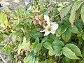 首里城敷地内で展示されているタカイチュビ(オオバライチゴ) の花.jpg