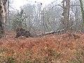 -2021-01-01 Fallen tree, Felbrigg Park, Norfolk.JPG