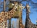 - ITALY - Giraffa (Giraffa camelopardalis) - Parco Natura Viva - Verona.jpg