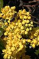 - Mahonia aquifolium 05 -.jpg
