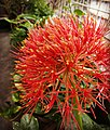-mayflower -red -flower -garden -homegarden -dhaka -bangladesh (26711114620).jpg