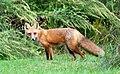018 Red Fox (8057817984).jpg