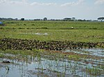 03306jfBirds Sanctuary Ducks Wetland Marshes Rice Fields Candaba Pampangafvf 17.JPG