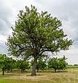 065 2015 05 25 Speierling am Hohlweg (Wiki Loves Earth 2015).jpg