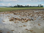 09461jfRoads Paddy fields Domesticated ducks Paligui Candaba Pampangafvf 28.JPG
