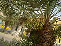 0 dates palm with dates in kuwait by irvin caliicut (6).jpg